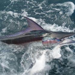 It's Marlin Season!